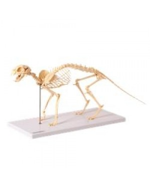 Esqueleto de Gato TGD-0602
